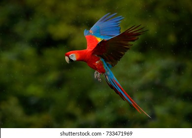 Red parrot in rain. Macaw parrot flying in dark green vegetation. Scarlet Macaw, Ara macao in flight in tropical forest, Costa Rica. Wildlife scene from tropic nature.