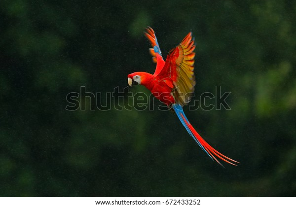 Red parrot in the rain. Macaw parrot flying in dark green vegetation. Scarlet Macaw, Ara macao, in tropical forest, Costa Rica, Wildlife scene from tropical nature. Red bird in the forest.