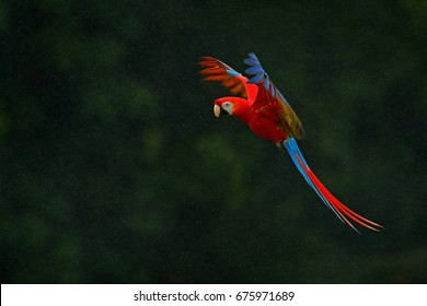 Red parrot in the rain. Scarlet Macaw, Ara macao, in tropical forest, Costa Rica, Wildlife scene from tropical nature. Red bird in flight with dark background.