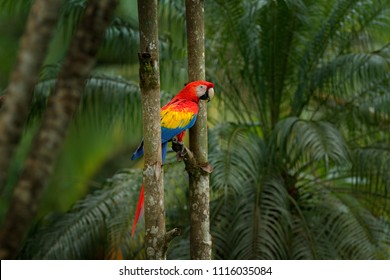 Red parrot Scarlet Macaw, Ara macao, bird sitting on the pal tree trunk, Panama. Wildlife scene from tropical forest. Beautiful parrot on green tree in nature habitat.