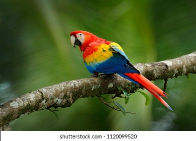 Red parrot Scarlet Macaw, Ara macao, bird sitting on the branch, Colombia. Wildlife scene from tropical forest. Beautiful parrot on green tree in nature habitat.