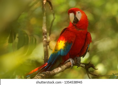 Red parrot Scarlet Macaw, Ara macao, bird sitting on the branch with food, Amazon, Brazil. Wildlife scene from tropical forest. Beautiful parrot on tree in nature habitat.