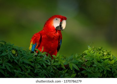 Red parrot Scarlet Macaw, Ara macao, bird sitting on the branch, Amazon, Brazil. Wildlife scene from tropical forest. Beautiful parrot on tree in nature habitat. Cute animal in the forest.