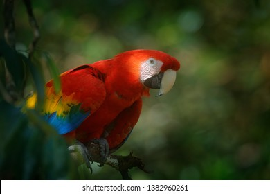Red parrot Scarlet Macaw, Ara macao, bird sitting on the branch with food, Amazon, Peru. Wildlife scene from tropical forest. Beautiful parrot on tree in nature habitat.