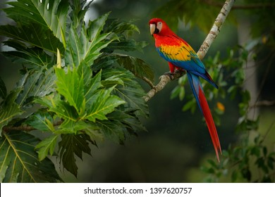 Red parrot Scarlet Macaw, Ara macao, bird sitting on the branch, Costa rica. Wildlife scene from tropical forest. Beautiful parrot on tree green tree in nature habitat.
