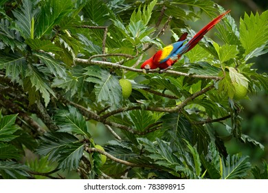 Red parrot Scarlet Macaw, Ara macao, bird sittin on the branch with food, Brazil. Wildlife scene from tropical forest. Beautiful parrot on tree branch in nature habitat.