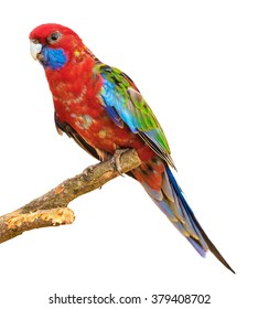 Red parrot sitting of tree branch isolated on white background