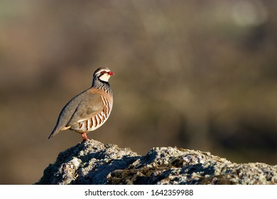 Red partridge in the field