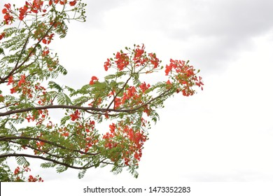 RED PEACOCK FLOWERS ON POINCIANA TREE WITH THE BACKGROUND OF CLOUDS