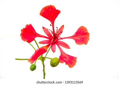 Red peacock flowers on white background (Asian flowers)