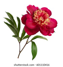 Flower white background images stock photos vectors shutterstock red peanut flower peony isolated on white background mightylinksfo