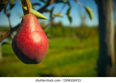 red pear hanging in tree organic fruit orchard