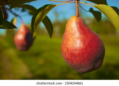 red pear tree fruit picking organic orchard