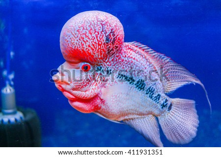 Red Pearl Cichlid Flowerhorn Cross Breed Stock Photo Edit Now