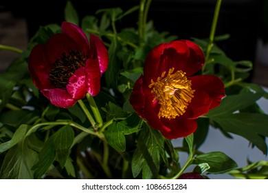 Red peonies in bloom