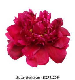 Red peony flower isolated on white background.