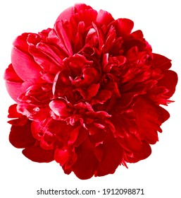 red  peony flower on white isolated background with clipping path.  For design.  Closeup.