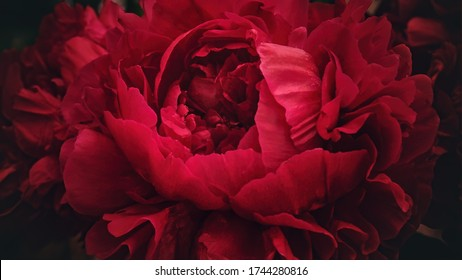 Red peony flower,close-up with selective focus and dark blurred background. Low key beautiful blooming peony picture for decoration. Single lush peony head, crimson mysterious flower top view