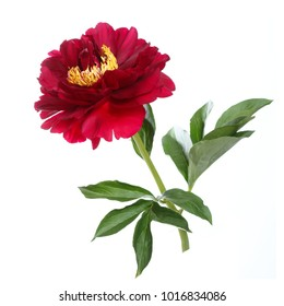 Red peony isolated on white background.