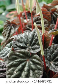 red Peperomia caperata plant in bloom