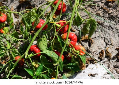 red pepper on the field, Costa Blanca, Spain