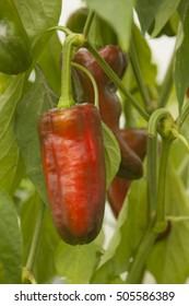 The red pepper is ready to harvest