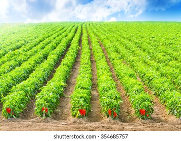 Red Peppers in a field with irrigation system and blue sky