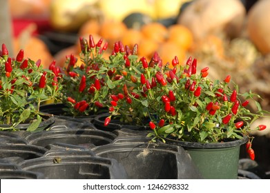 Red pequin peppers, potted chili pepper plants for sale at the greenmarket (Scoville scale 60,000)