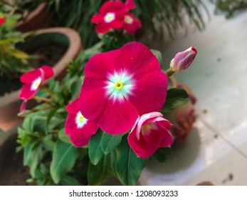 Red Periwinkle Flower - Catharanthus roseus or the rose periwinkle Closeup