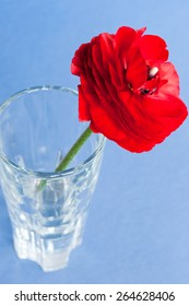 Red persian buttercup flower in a vase on blue background.