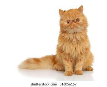 Red Persian cat in front of white background