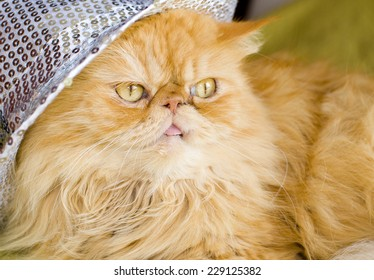 Red persian cat with hat