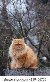 Red persian cat on the wall