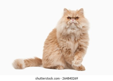Red persian cat on white background