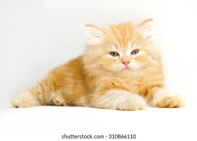 red persian kitten on white background