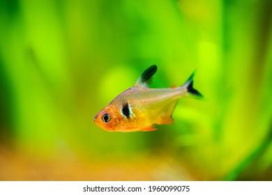 Red Phantom Tetra (Hyphessobrycon sweglesi) macro close up in a fish tank with blurred background