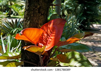 Red philodendron or Blushing philodendron (Philodendron erubescens), Minas Gerais, Brazil