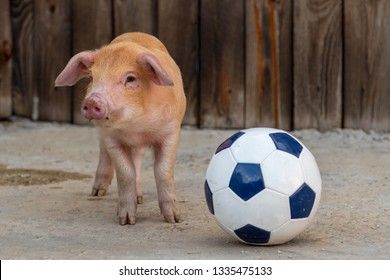 Red piglet is playing with black-white soccer ball