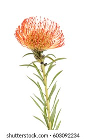 red  pincushion  protea flower isolated on white  background