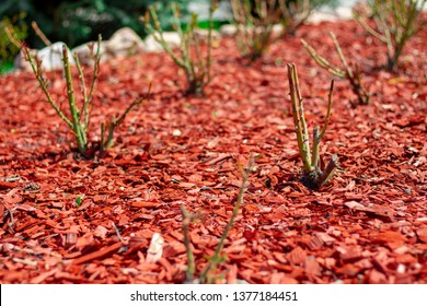 Red pine mulch on a flowerbed with rose bushes. Posh Landscape Design flower beds roses. Beautiful mulching pink flower beds red pine shavings. Mulched flower bed with roses photo with perspective.