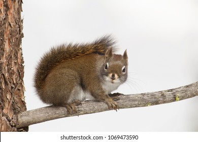 Red Pine Squirrel, a.k.a. Chickaree, favored prey of the Pine Marten, on Ponderosa Pine branch against a background of white snow
