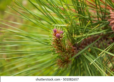 Red Pine tree female cone