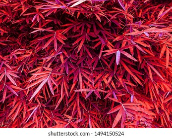 Red pink bamboo leaf background in summer