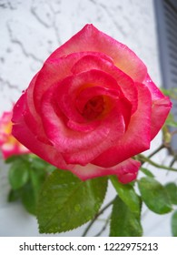 Red, Pink and blush colored Dick Clark Roses