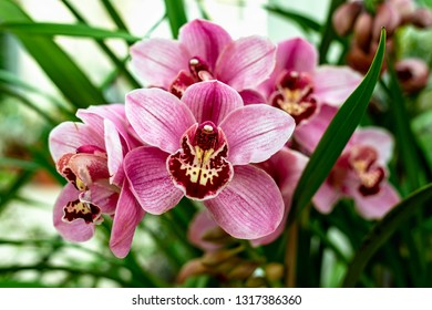 Red pink Boat Orchid Cymbidium