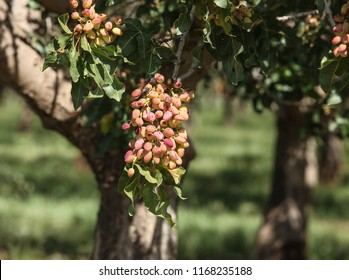 Red pink cluster of infected pistachio nut hulls in orchard