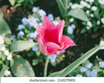 Red pink colored garden flower in park with green leaves and lomo film effect for background