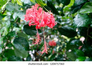 Japanese Hibiscus Images Stock Photos Vectors Shutterstock