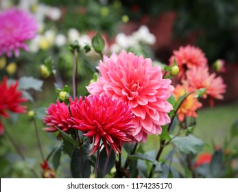 red and pink dahlia floer in the park or garden of Thailand.