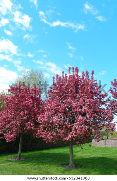red Pink flower tree sour cherry on a blue sky